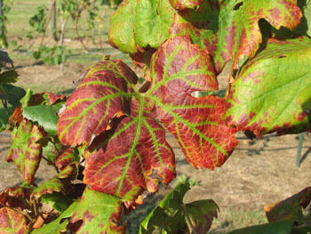 Most common grapevine pests around the world
