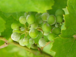grape fungal diseases