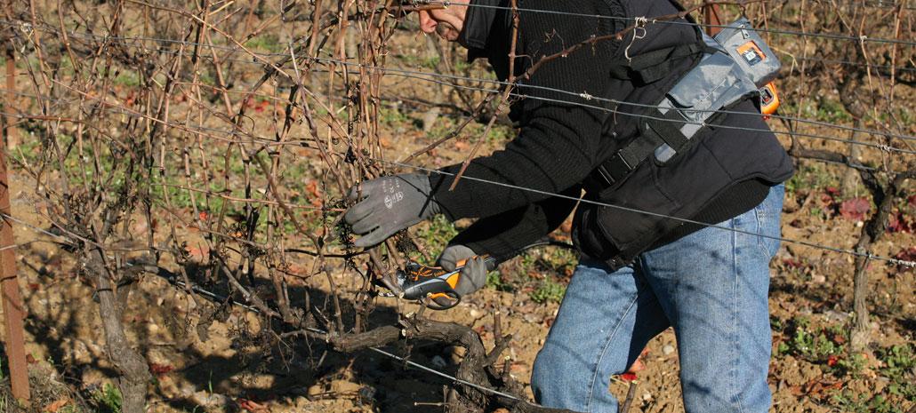 Grapevine pruning - vineyard winter work activity