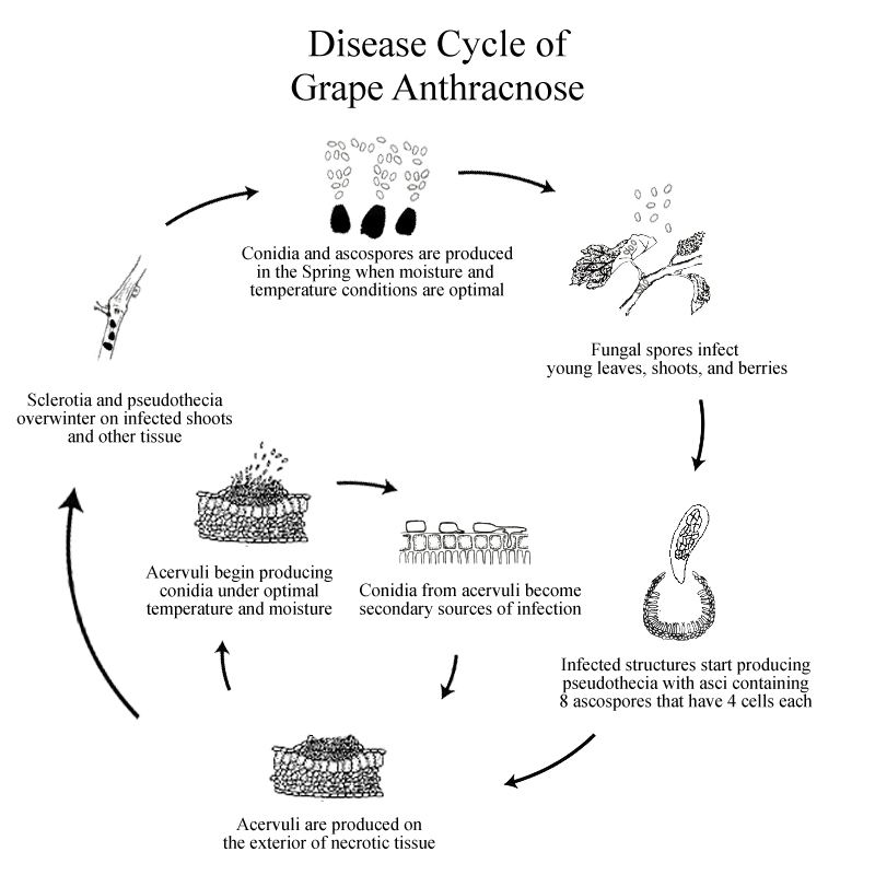 Grape_Anthracnose_Disease_Cycle