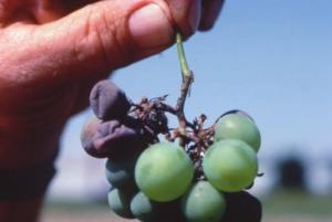phomopsis on grape