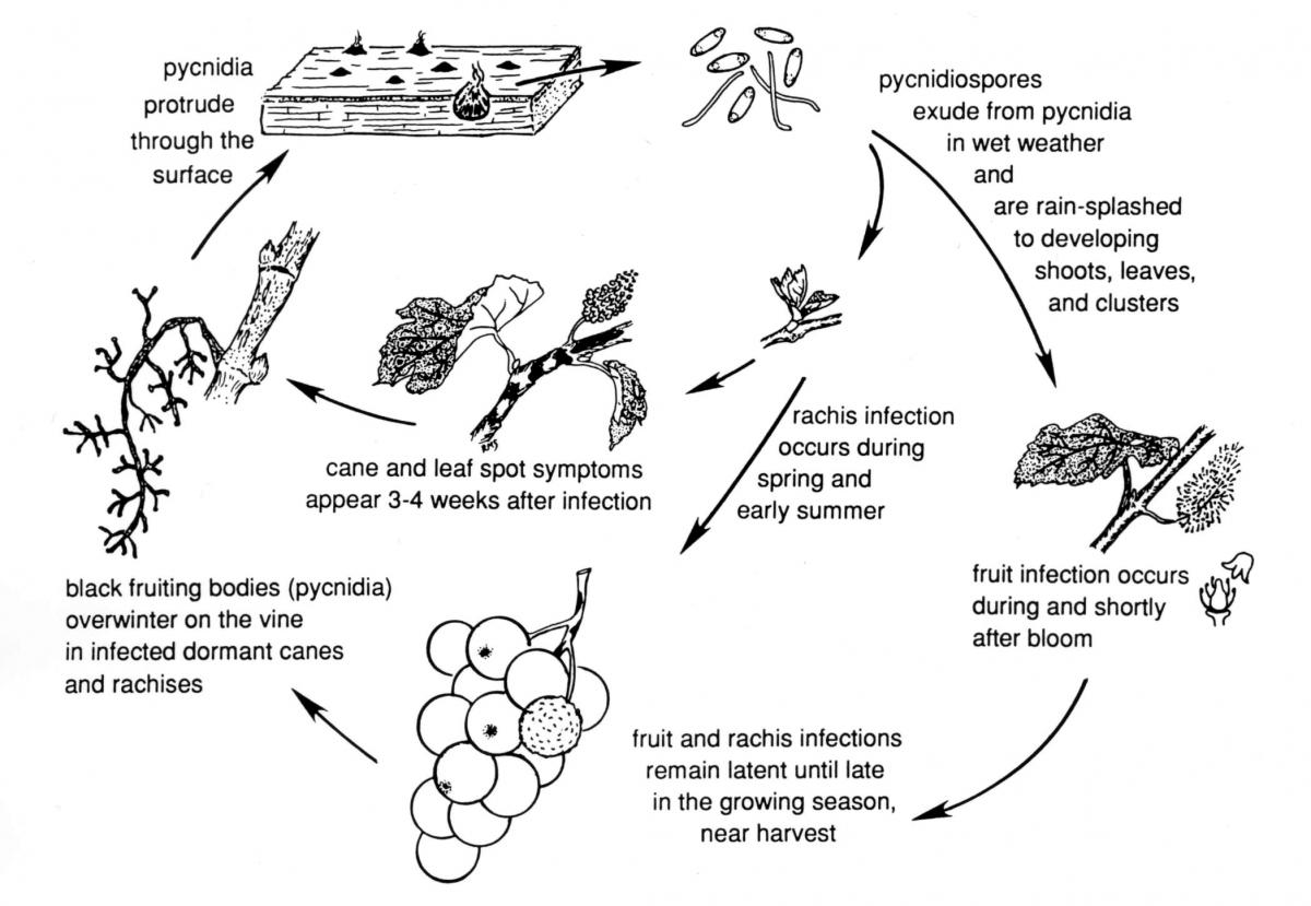 phomopsis_cane_leaf_spot_disease_cycle