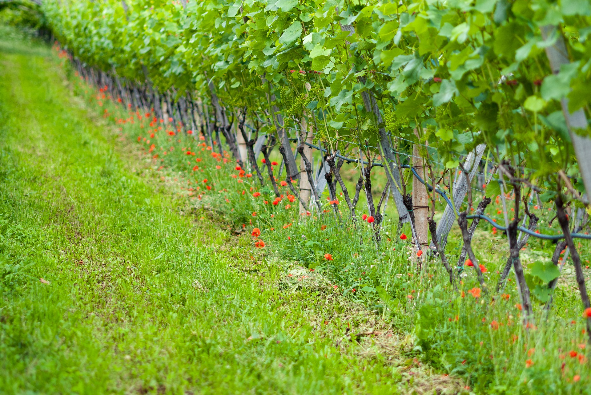 Cover cropping in the vineyard