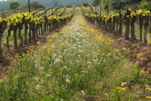 Why cover cropping in the vineyard?