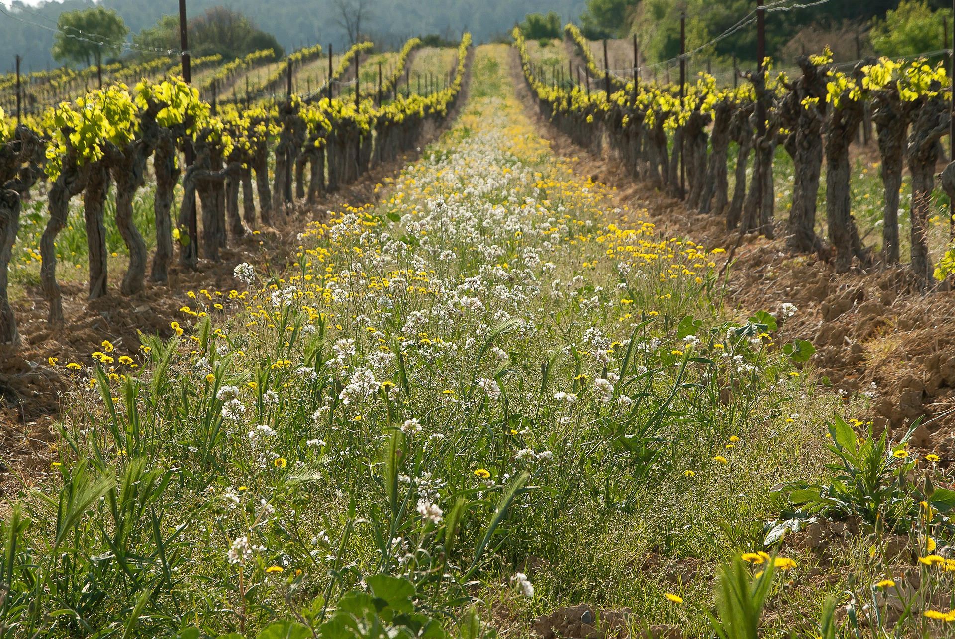 Cover cropping: alternative to herbicide use in the vineyard