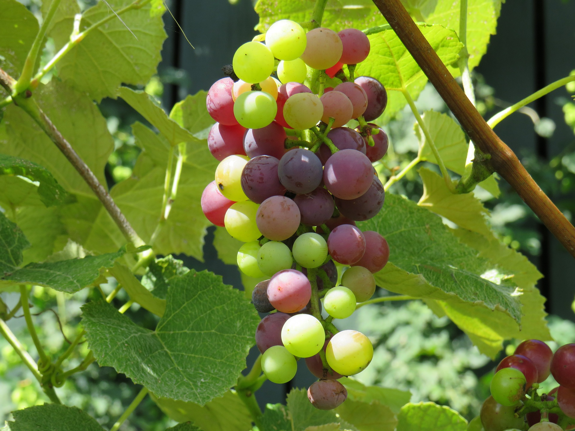 Veraison and Crop Thinning in the vineyard