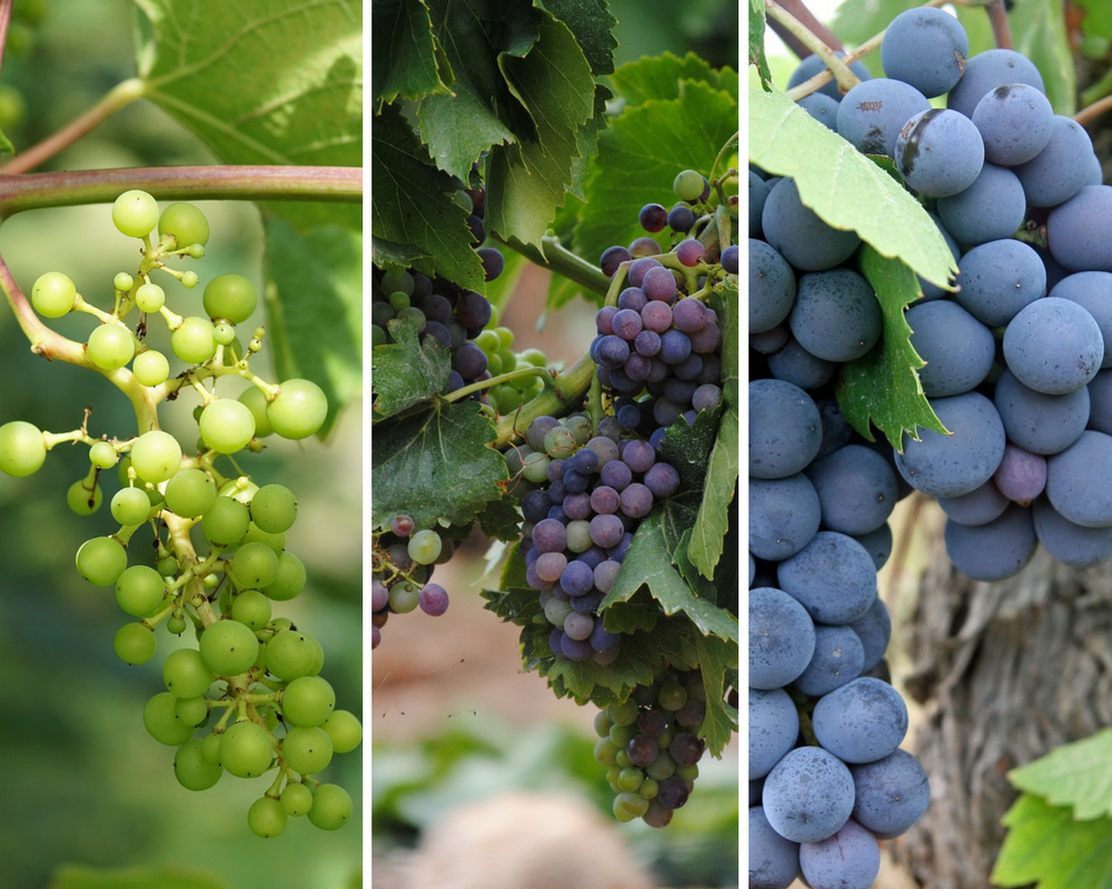 Grape berry growth and maturing