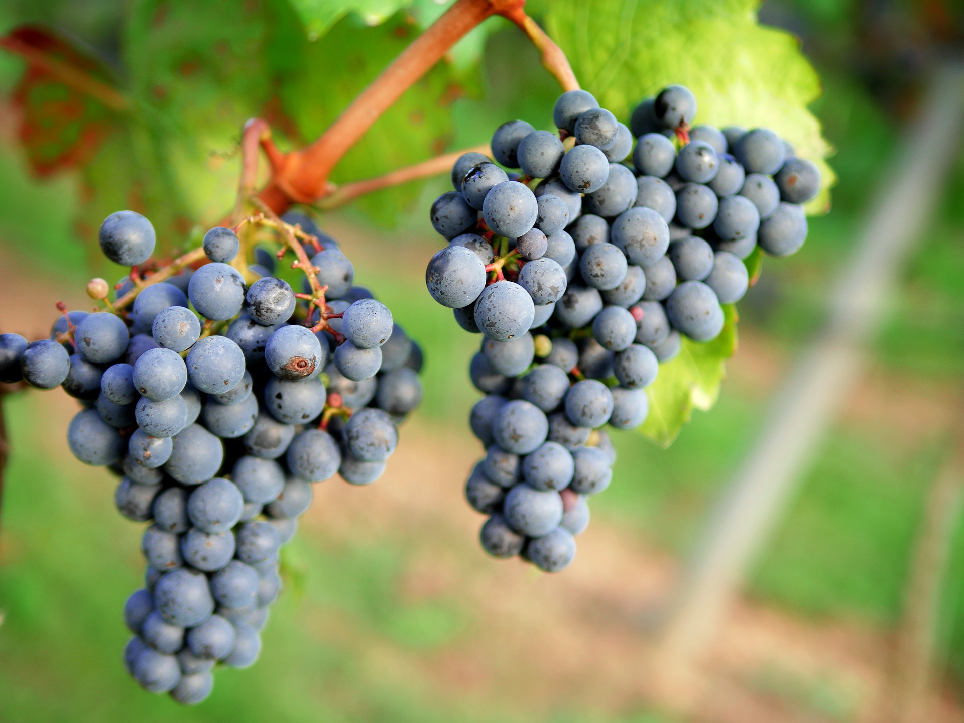 Grape Cluster And Berries Structure
