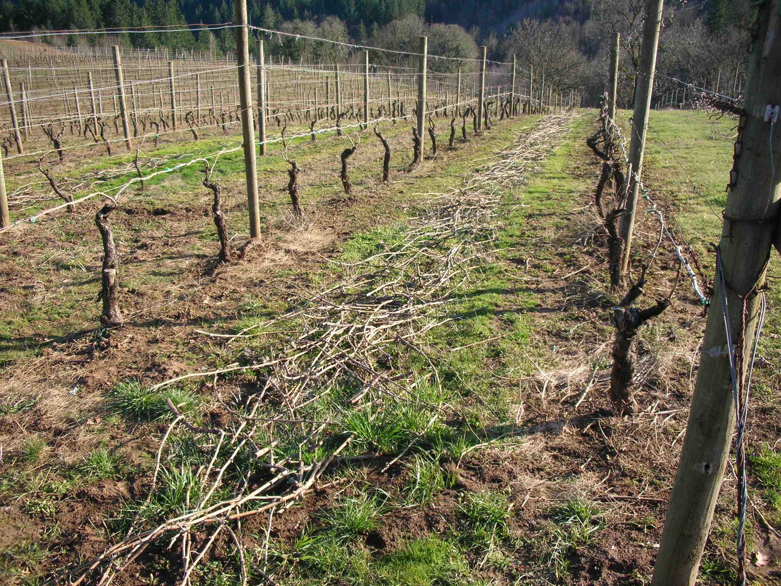vine prunings dormant pruning