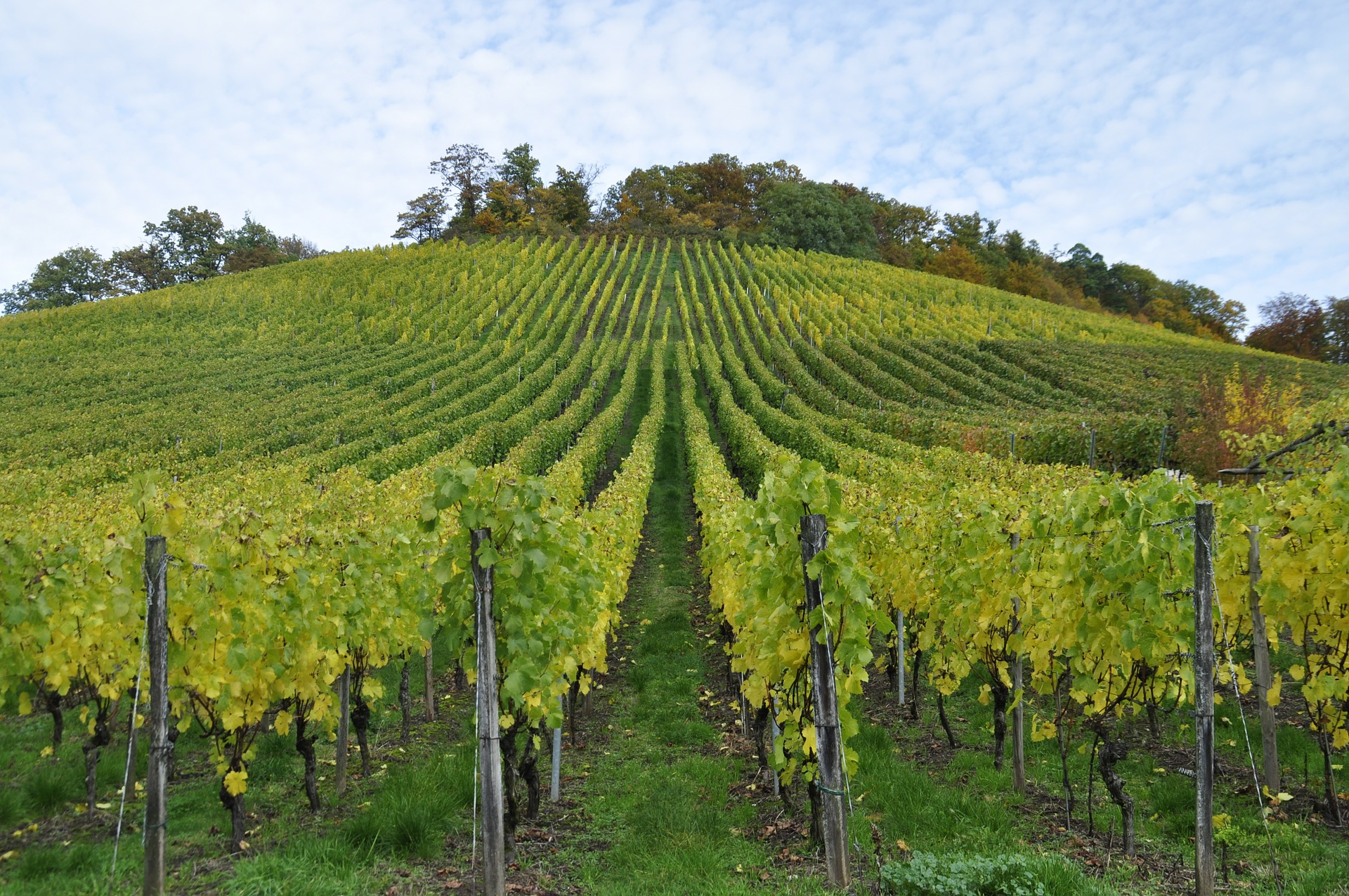 Post-harvest Vineyard Management: preparing vines for resting