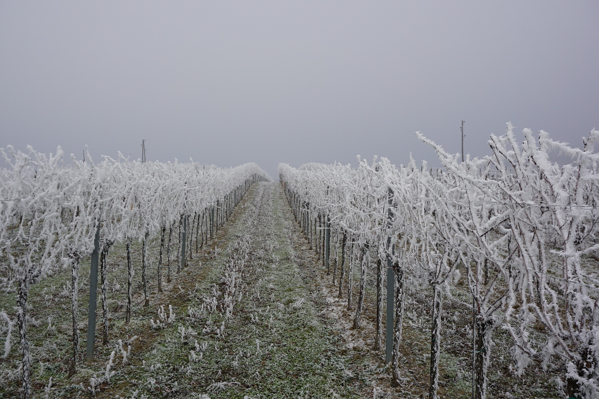 grapevines-in-winter