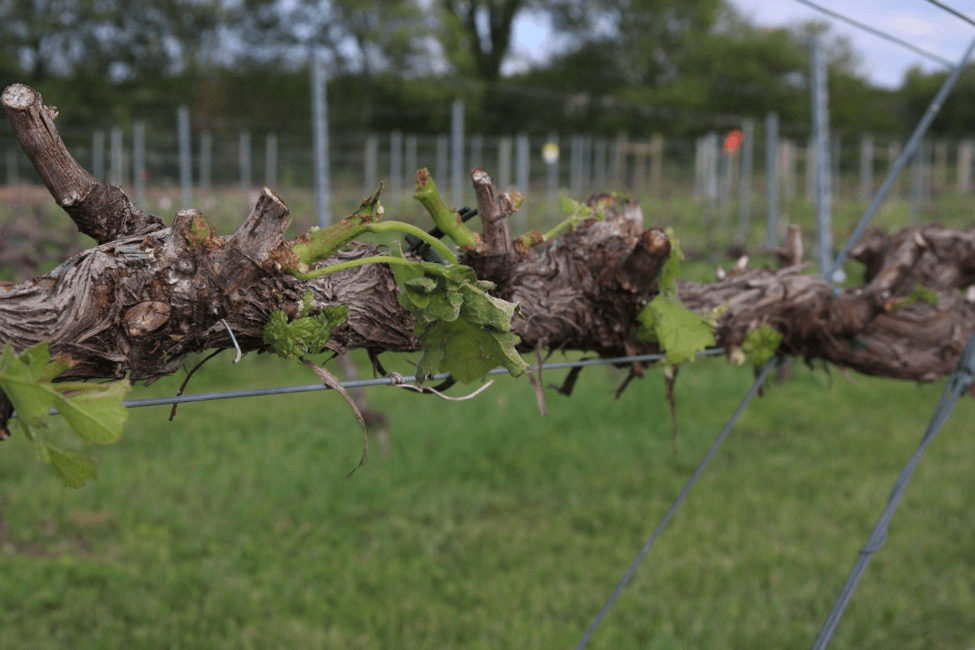 Hailstorm damaged shoots, leaves, flower buds, and a cordon of a grapevine