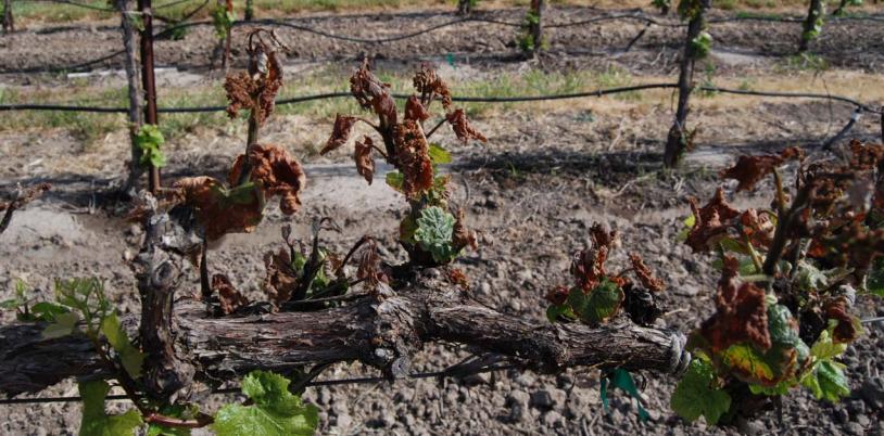 prevent-vineyard-frost-damage