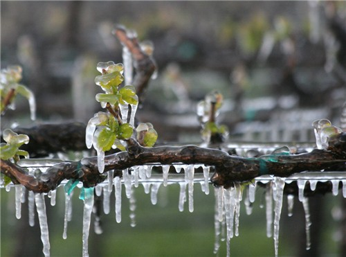 water freeze around green tissues to prevent vineyard frost damage