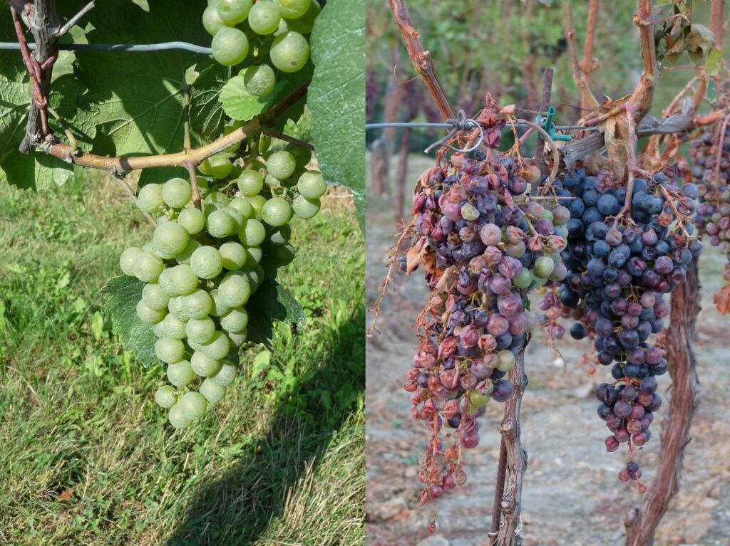 Damaged grapes hail storm