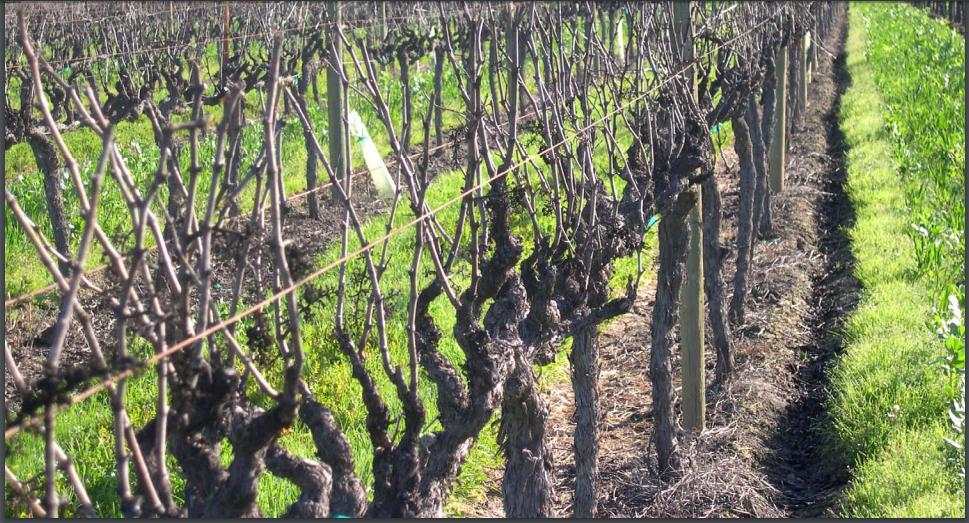 Double pruning-passive frost protection methods