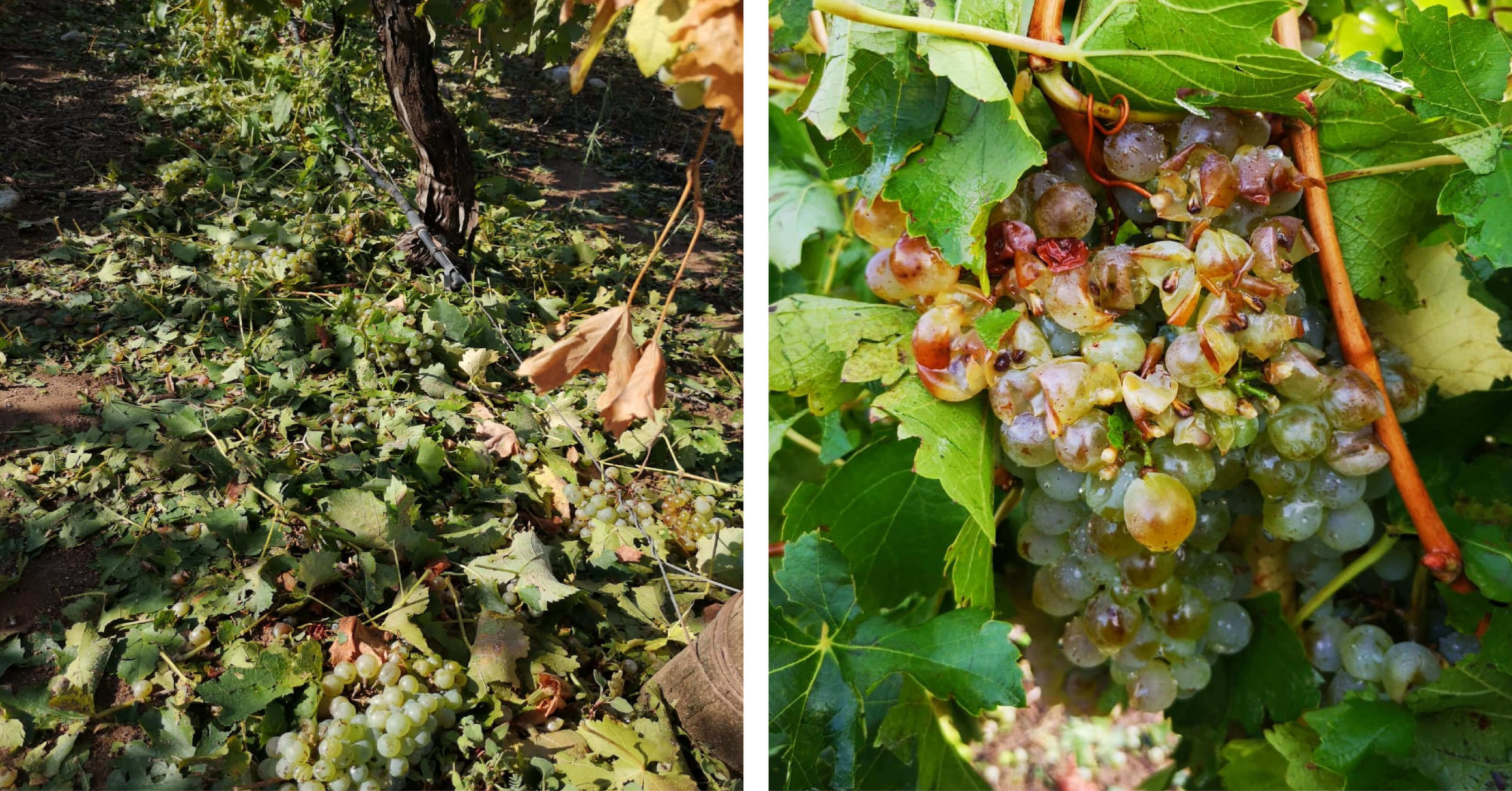 Hail damage - grape clusters knocked to the ground