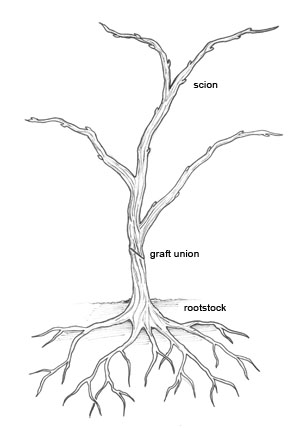 Grafted vine