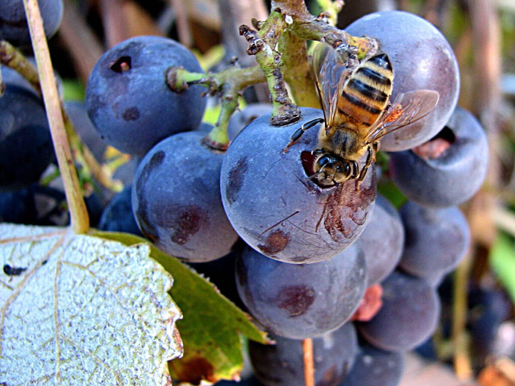 Bee on grape cluster