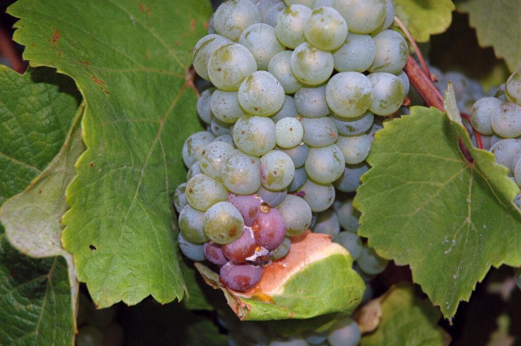 grape-bunch-rot-2