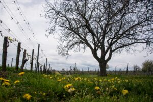 Why the need to calculate growing degree days in vineyard?
