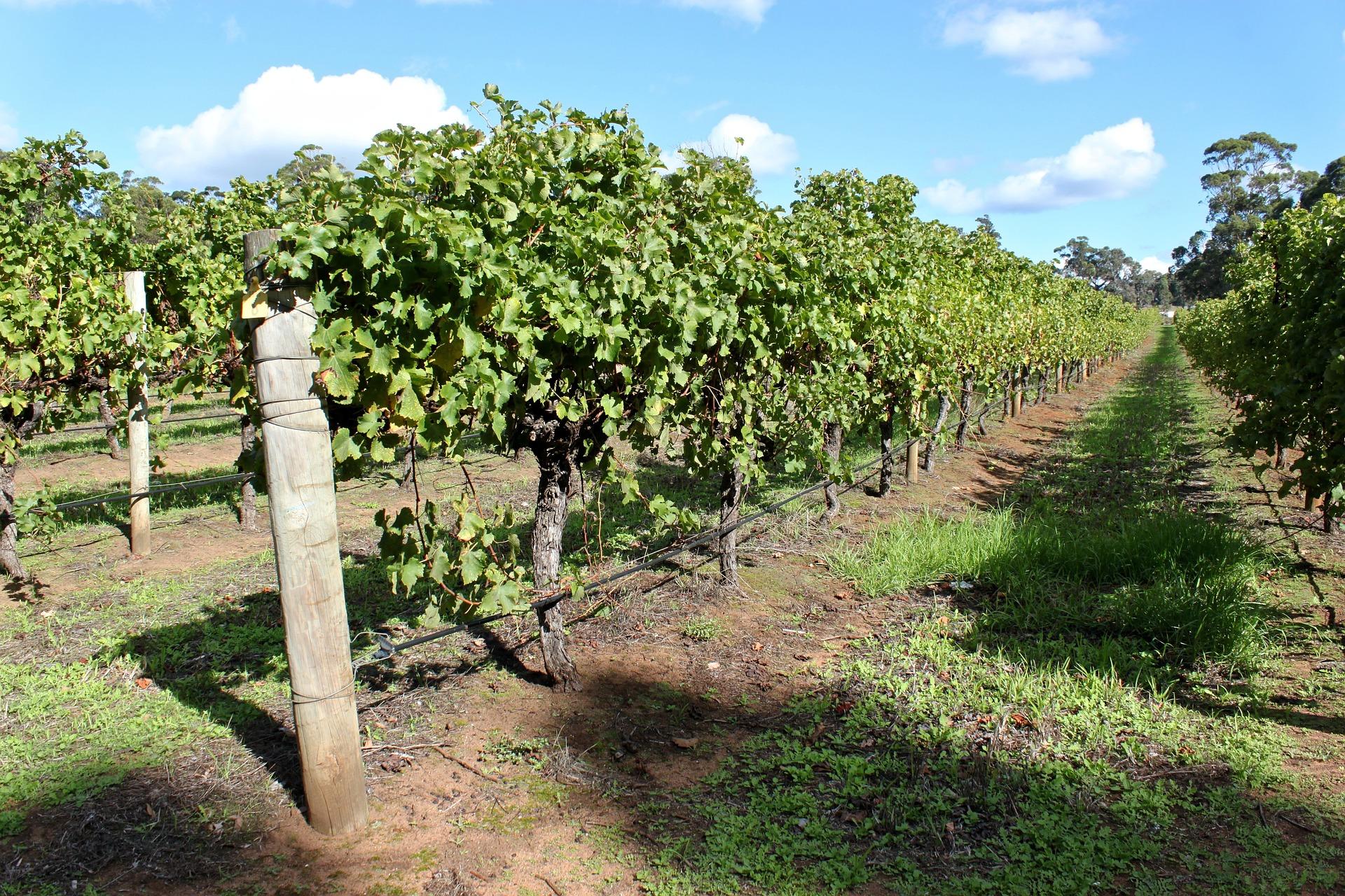 How to schedule vineyard irrigation?