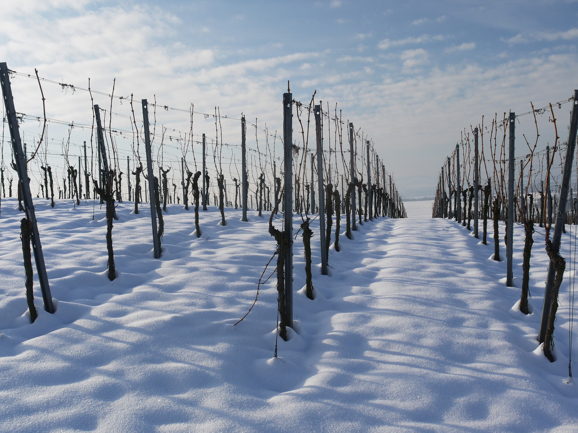 grapevines-during-winter-dormancy