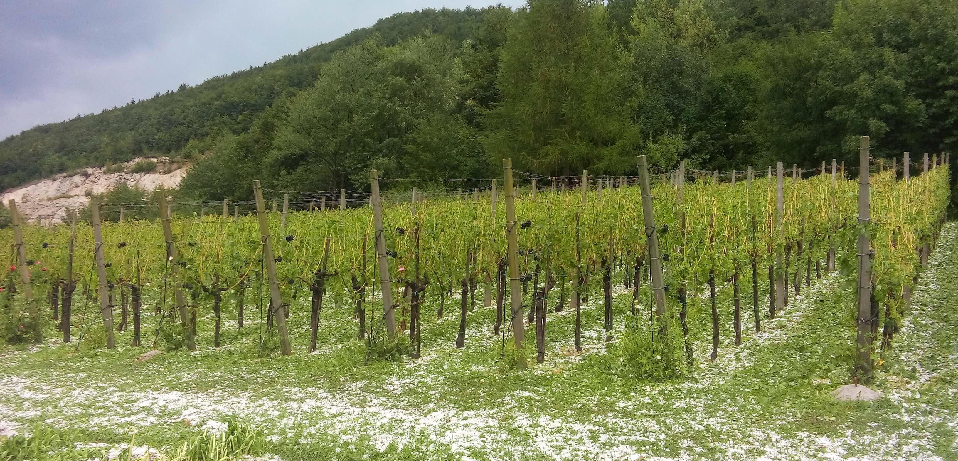 Hail in vineyards - damage, protection methods and management