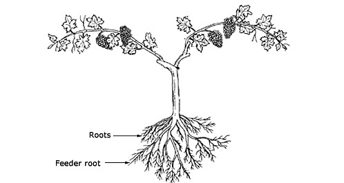 structure-and-function-of-grapevine-root-system