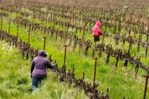 tips-on-vineyard-work-organization-during-the-virus-epidemic