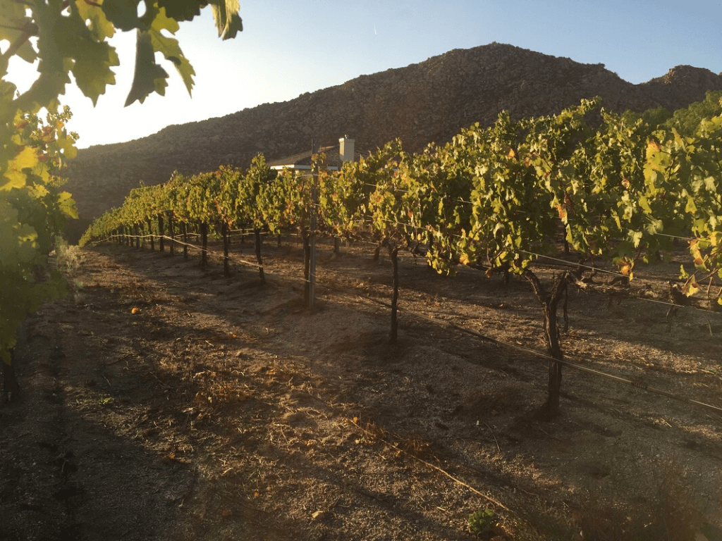 [Case study] eVineyard helping save 10-30% of vineyard irrigation water and improve grape quality in California vineyards